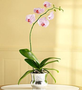 Pembeli Orkide